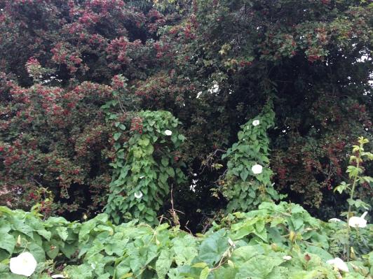 Convolvulus (bindweed) creeping up a hawthorn tree