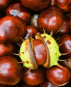 Conkers can be found up until November depending on the summer weather