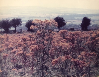 Ragwort on fields high above the farm in 1978