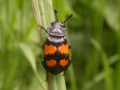 The sexton beetle
