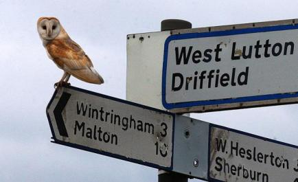 A barn owl takes a rest on the way to Malton