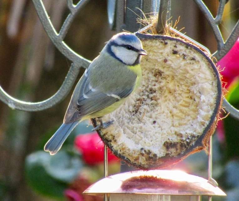 Blue tits used to steal the 'top of the milk' when it was delivered in glass bottles on the doorstep. Picture by Mick Gisbourne